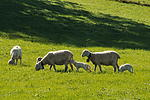 Schafe und Schäfchen